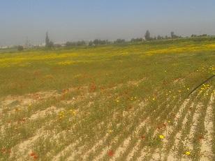 פריחת פרגים ליד כפר חבד